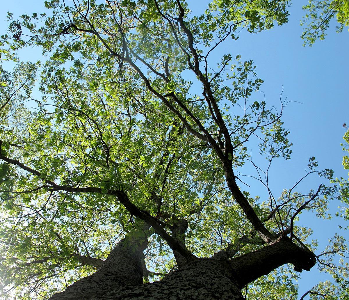Quercus alba 21
