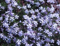 Phlox subulata 6