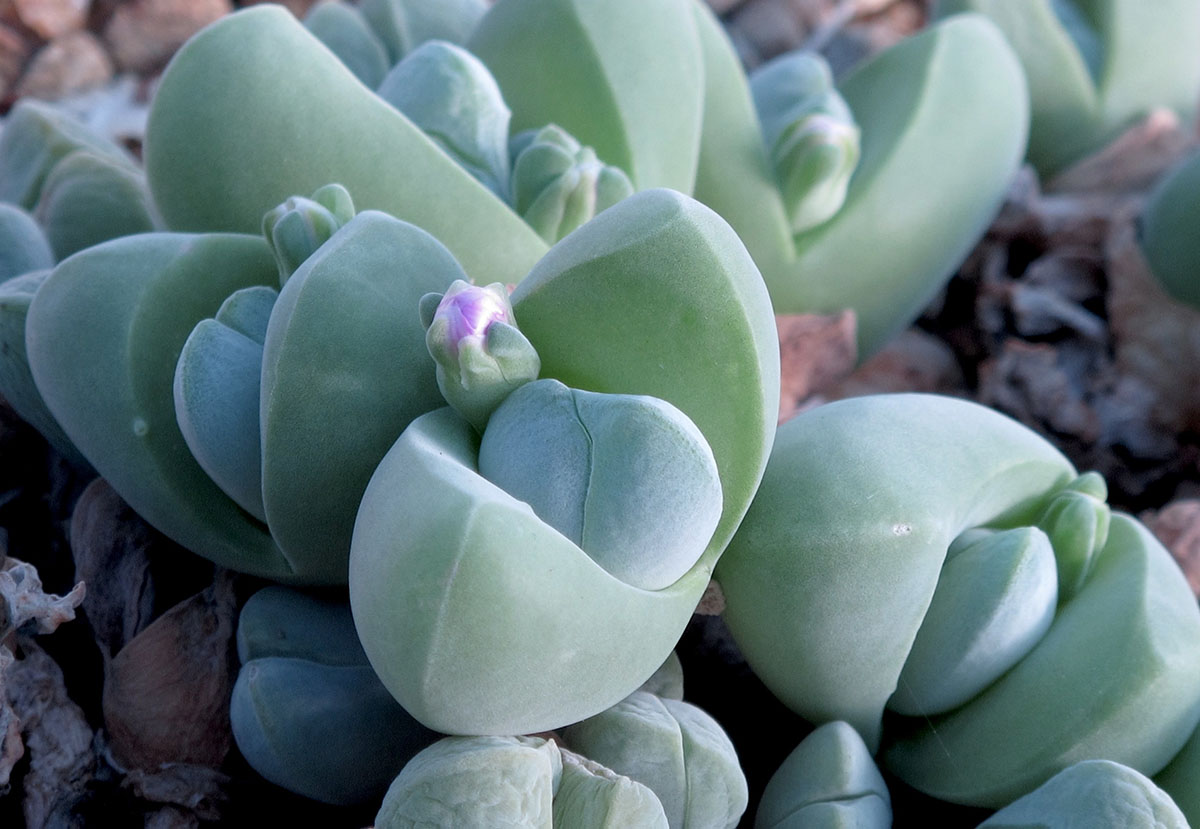 Gibbaeum dispar 2