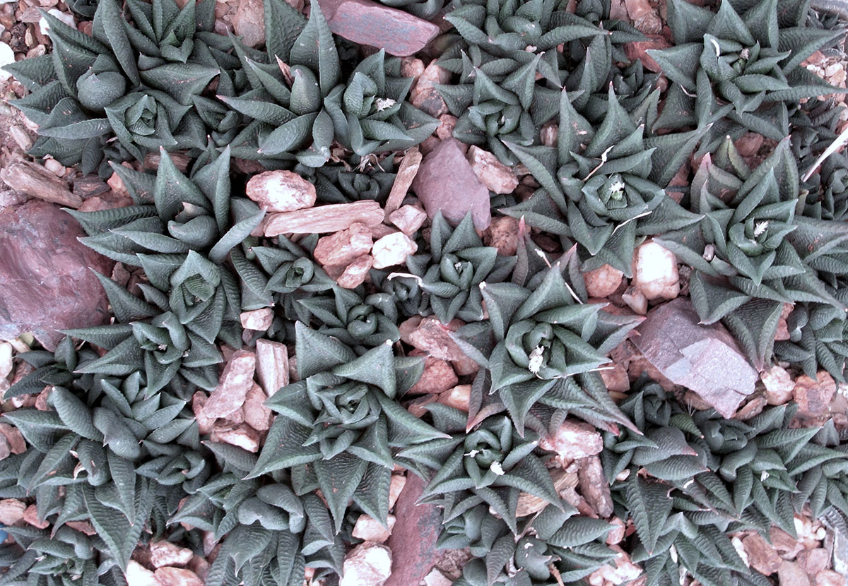 Haworthia limifolia limifolia 3