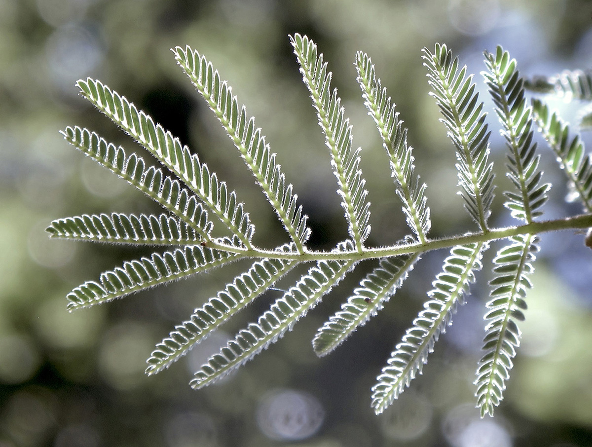 Acacia-hereroensis-7-