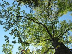 Quercus alba 24