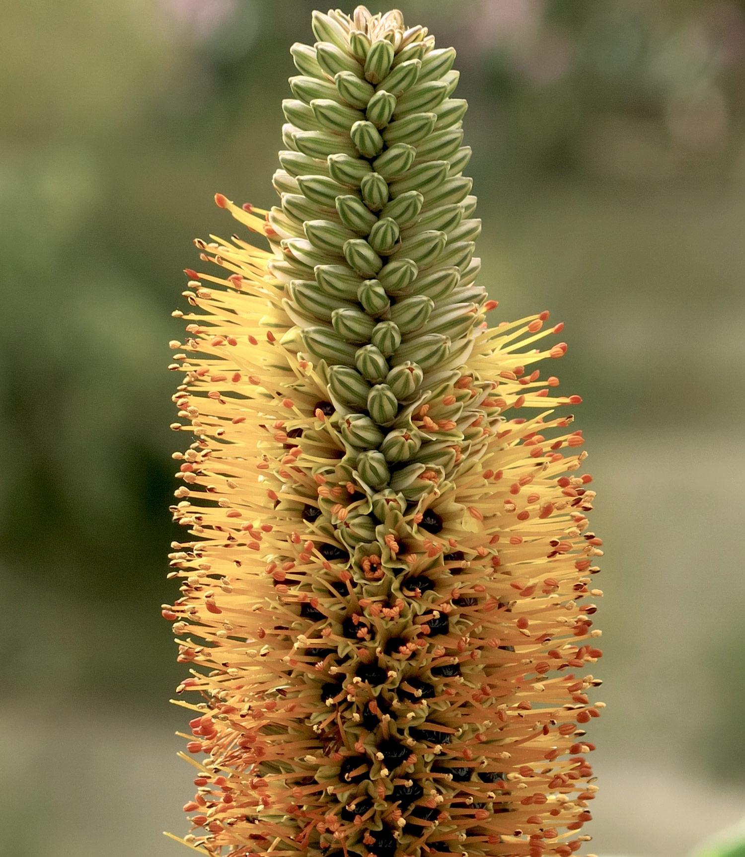 Aloe-microstigma-11-
