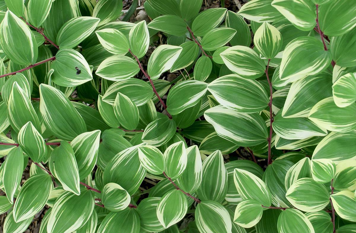 Polygonatum odoratum 2