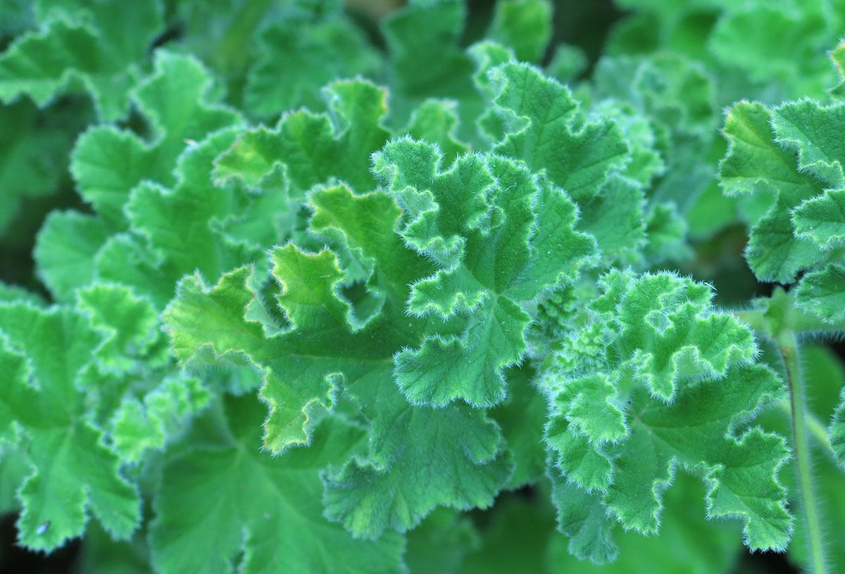 Pelargonium capitatum 19 1