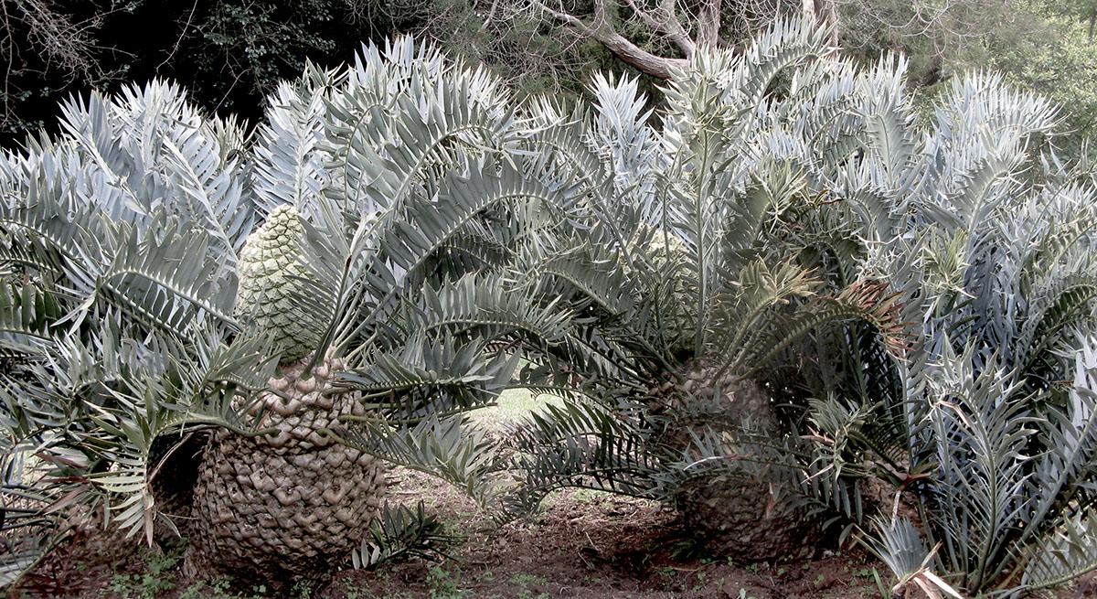 Encephalartos trispinosus 14