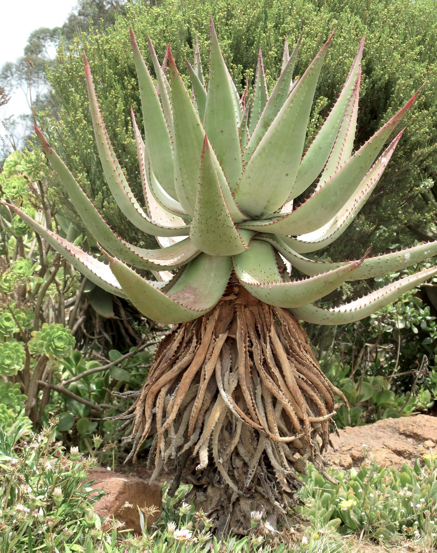 Aloe-ferox-65-