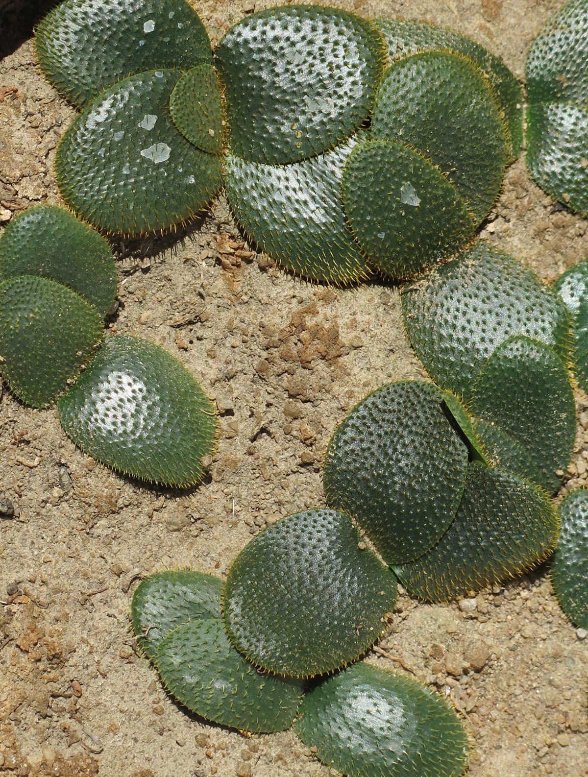 Brunsvigia namaquanum 3