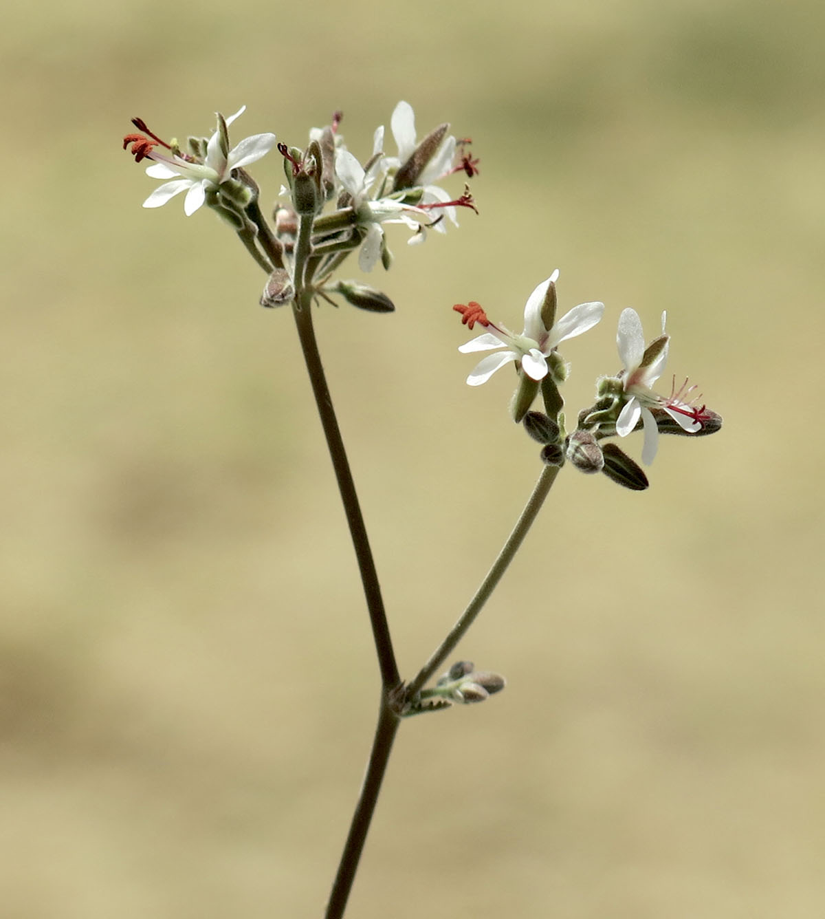 Pelargonium Bulletrap 8
