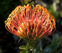 Leucospermum cordifolium 80