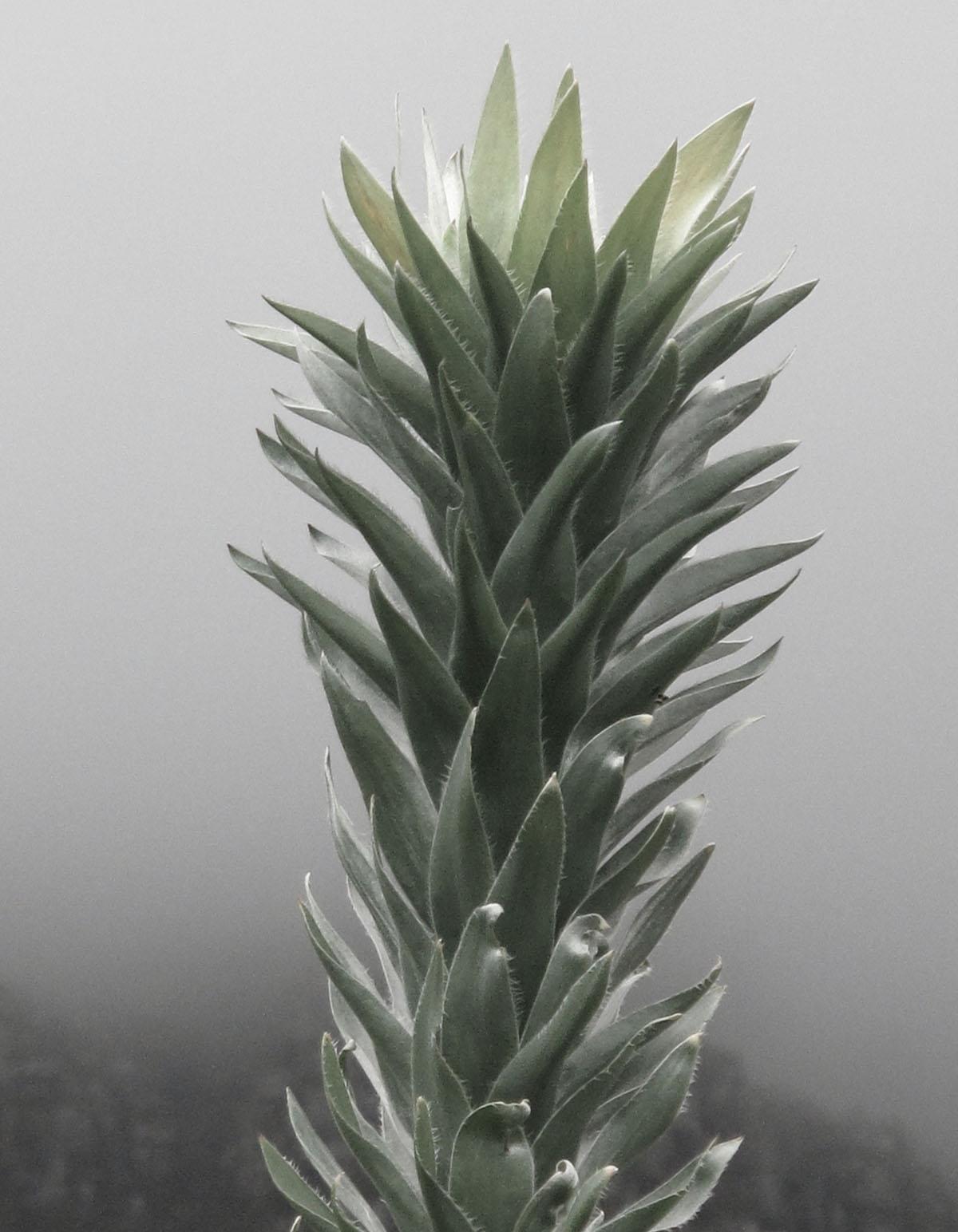 Leucadendron argenteum 53