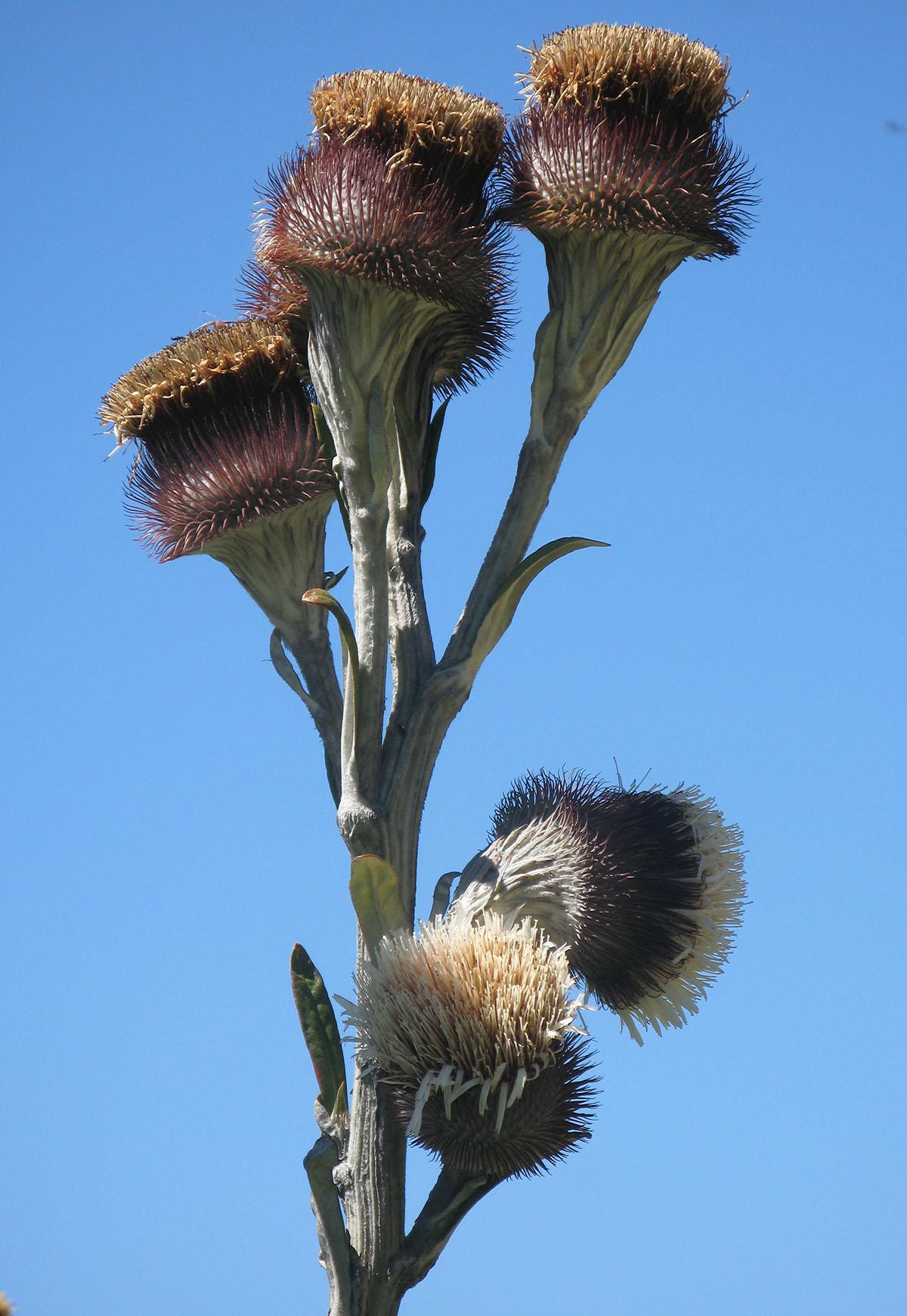 Oldenburgia grandis 52