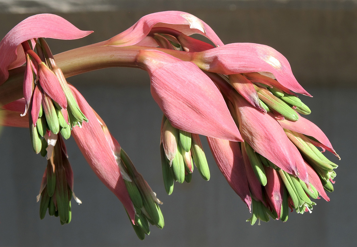 Beschorneria yuccoides 6