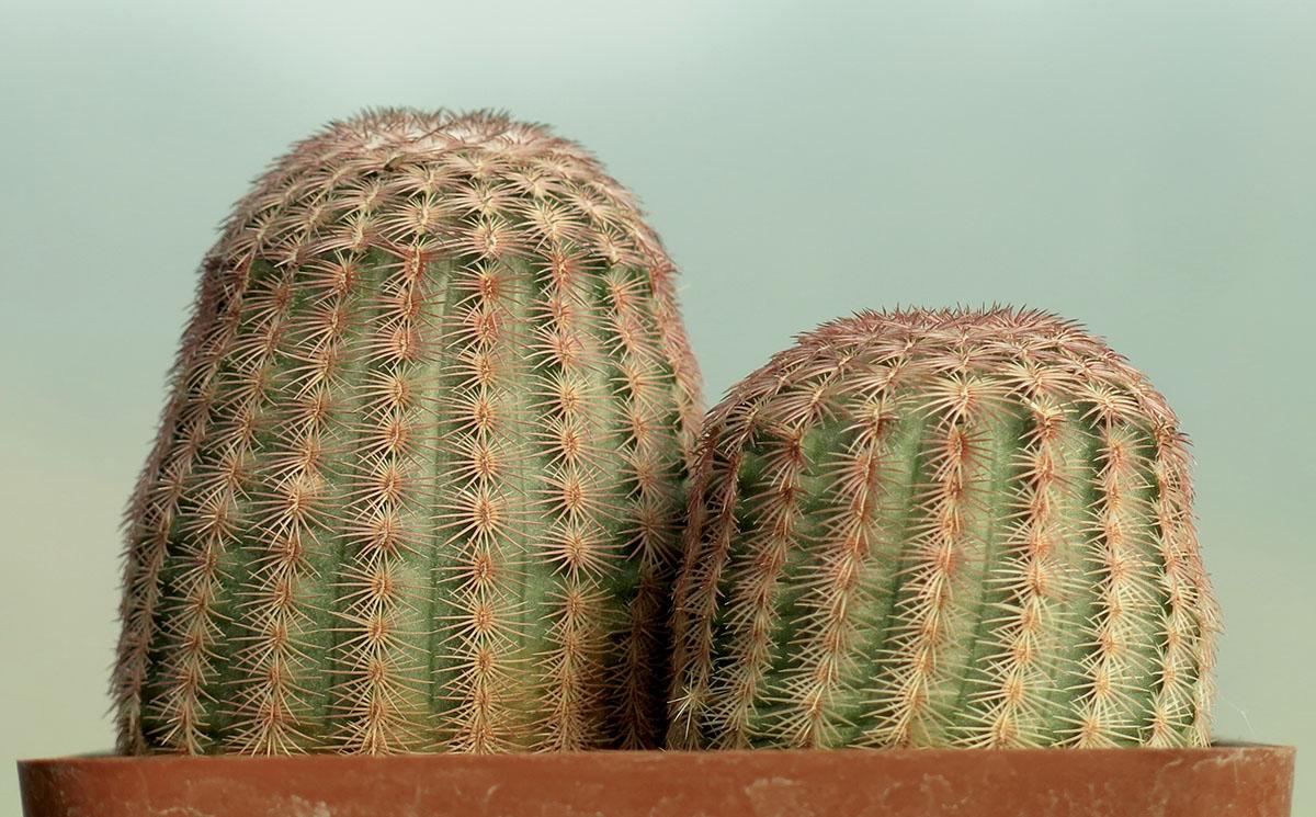Echinocereus rigidissimus 7