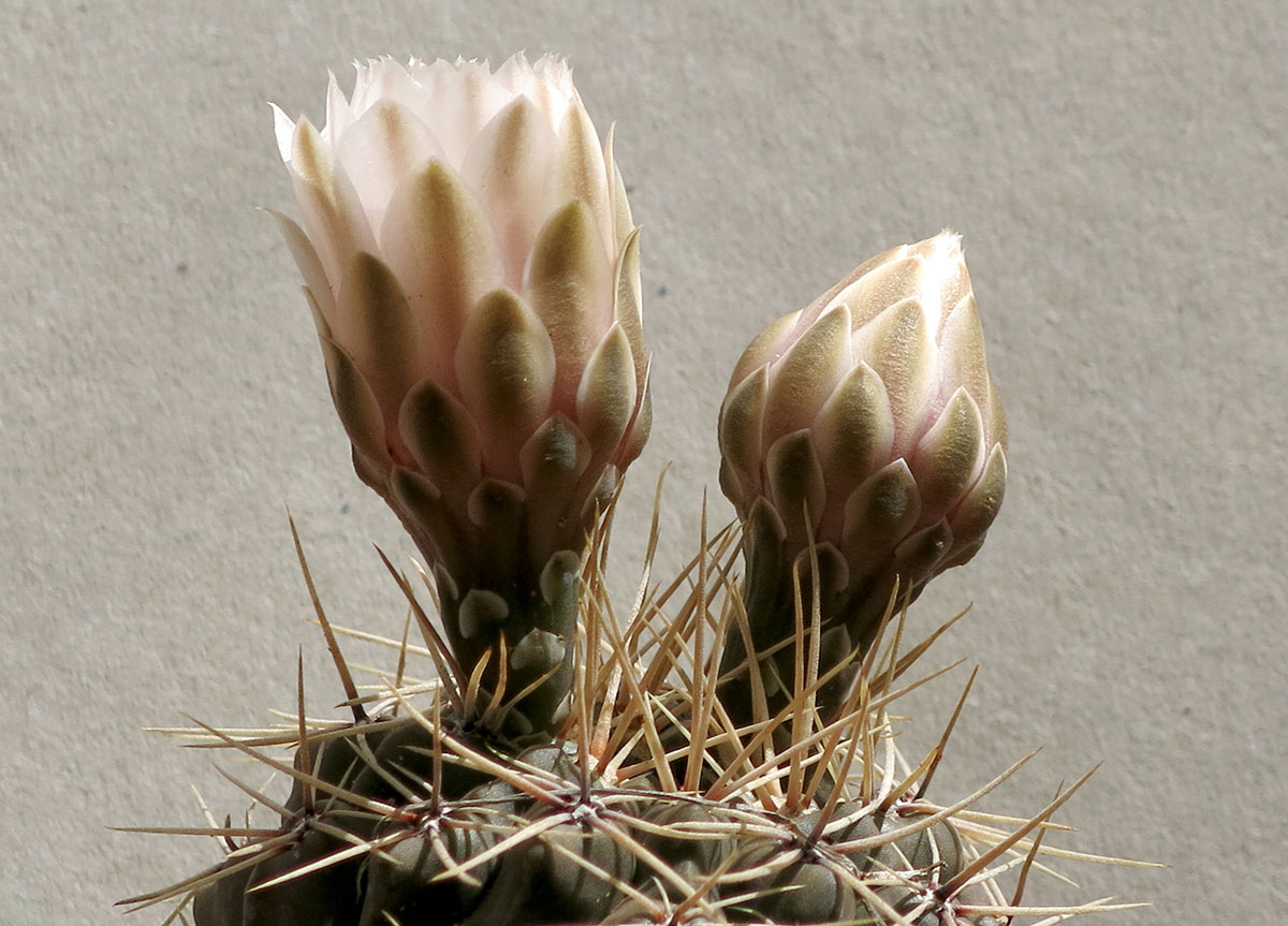 Gymnocalycium gibbosum 2