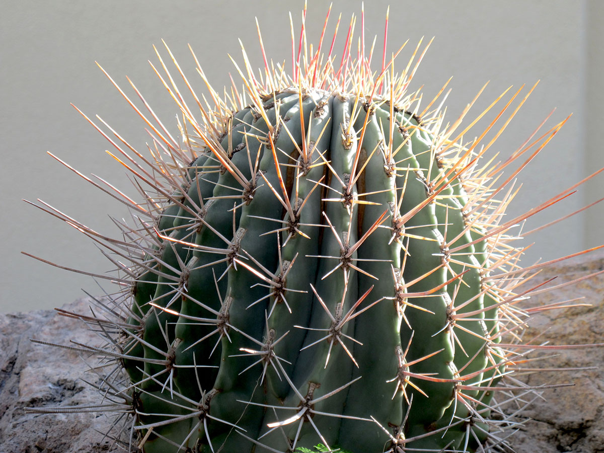 Ferocactus emoryi 1