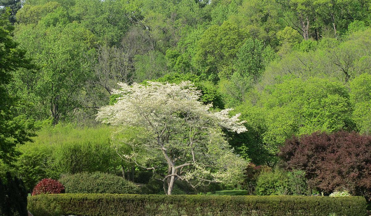 Cornus florida 31