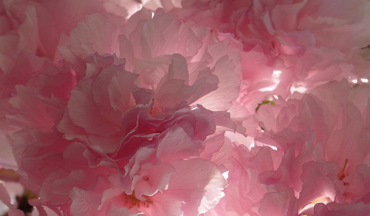 Prunus triloba 33