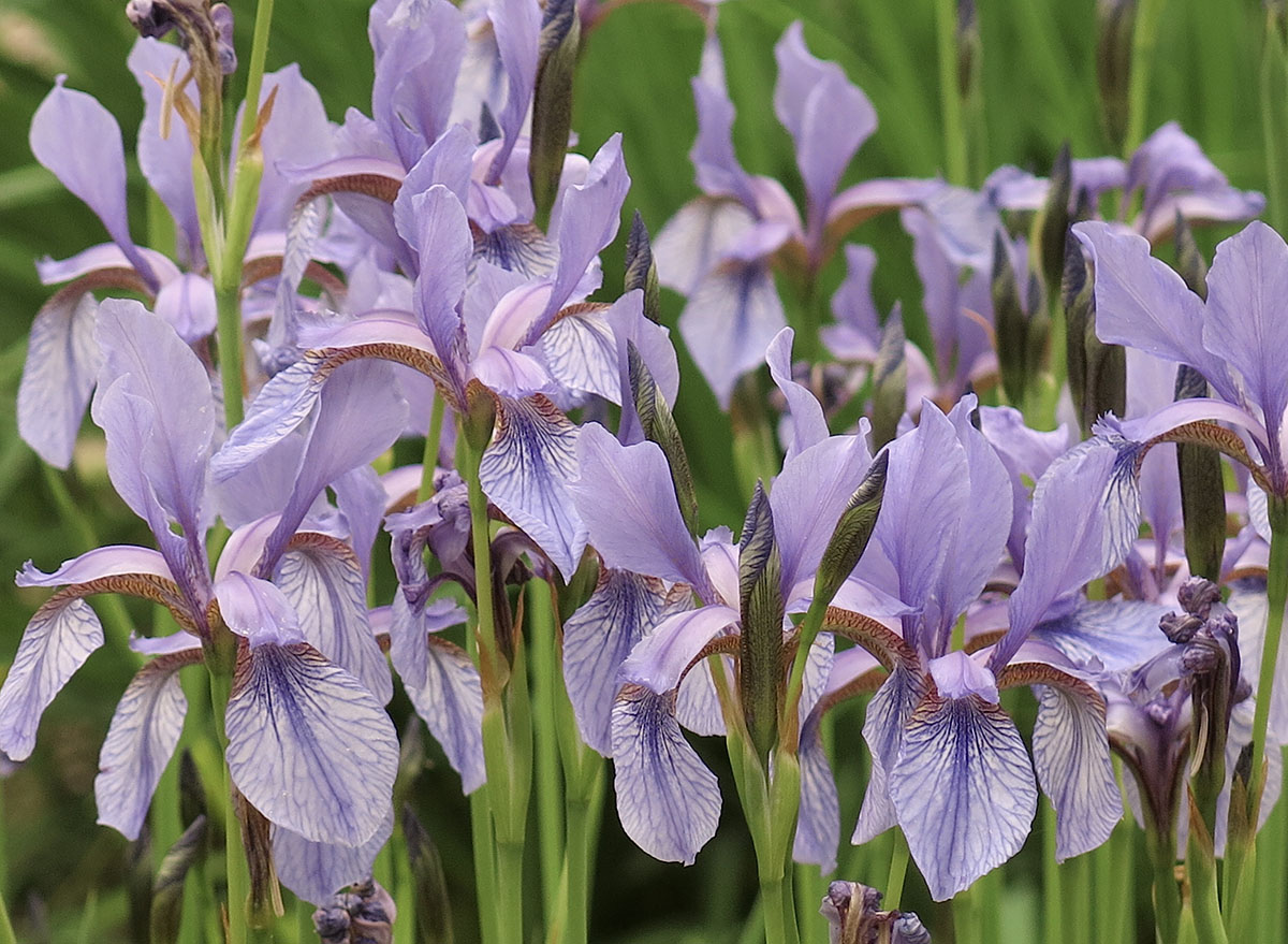 Iris sibirica 2