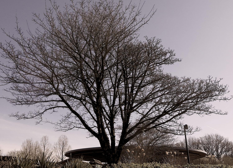 Acer-cappadocium-6-