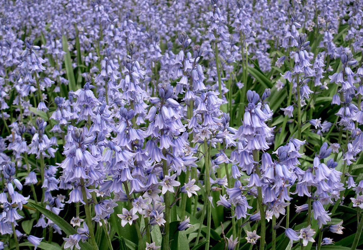 Hyacinthoides hispanica 31