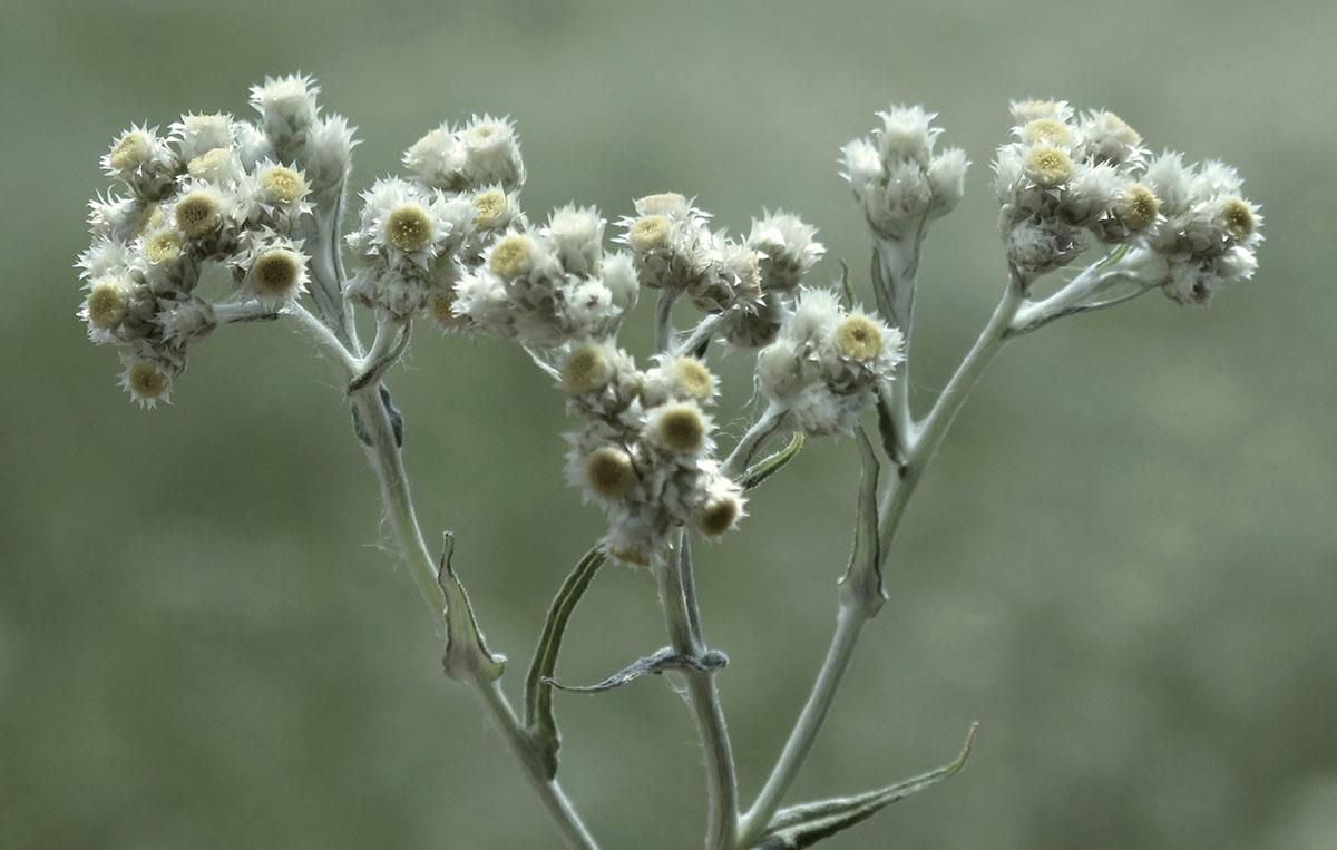 Helichrysum rugulosum 37