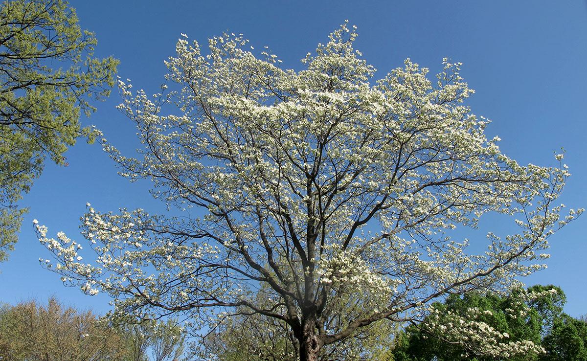 Cornus florida 8