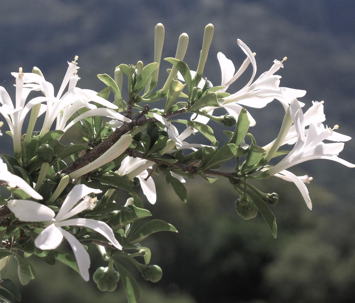 Turraea obtusifolia 30