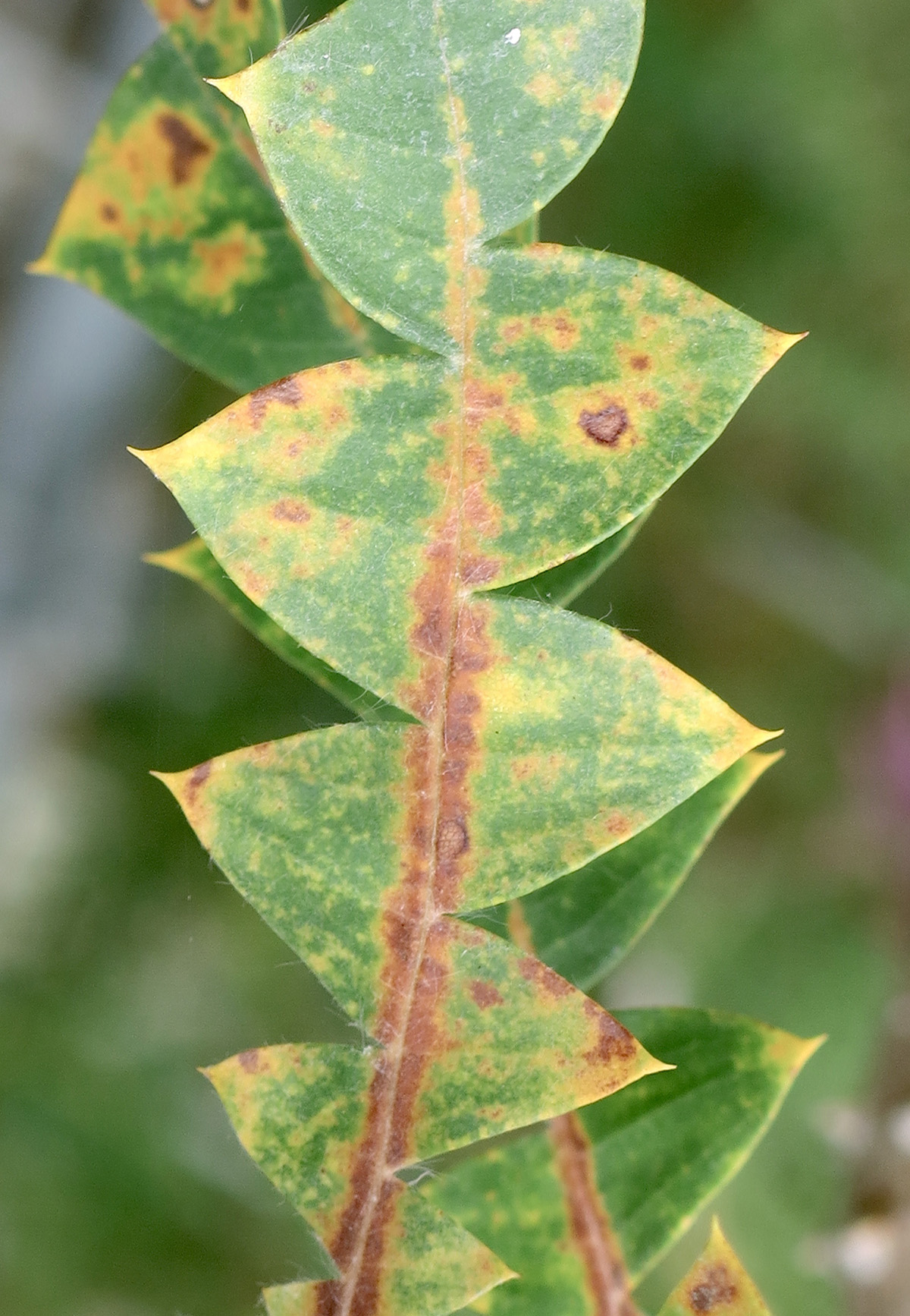 Banksia baxteri 11