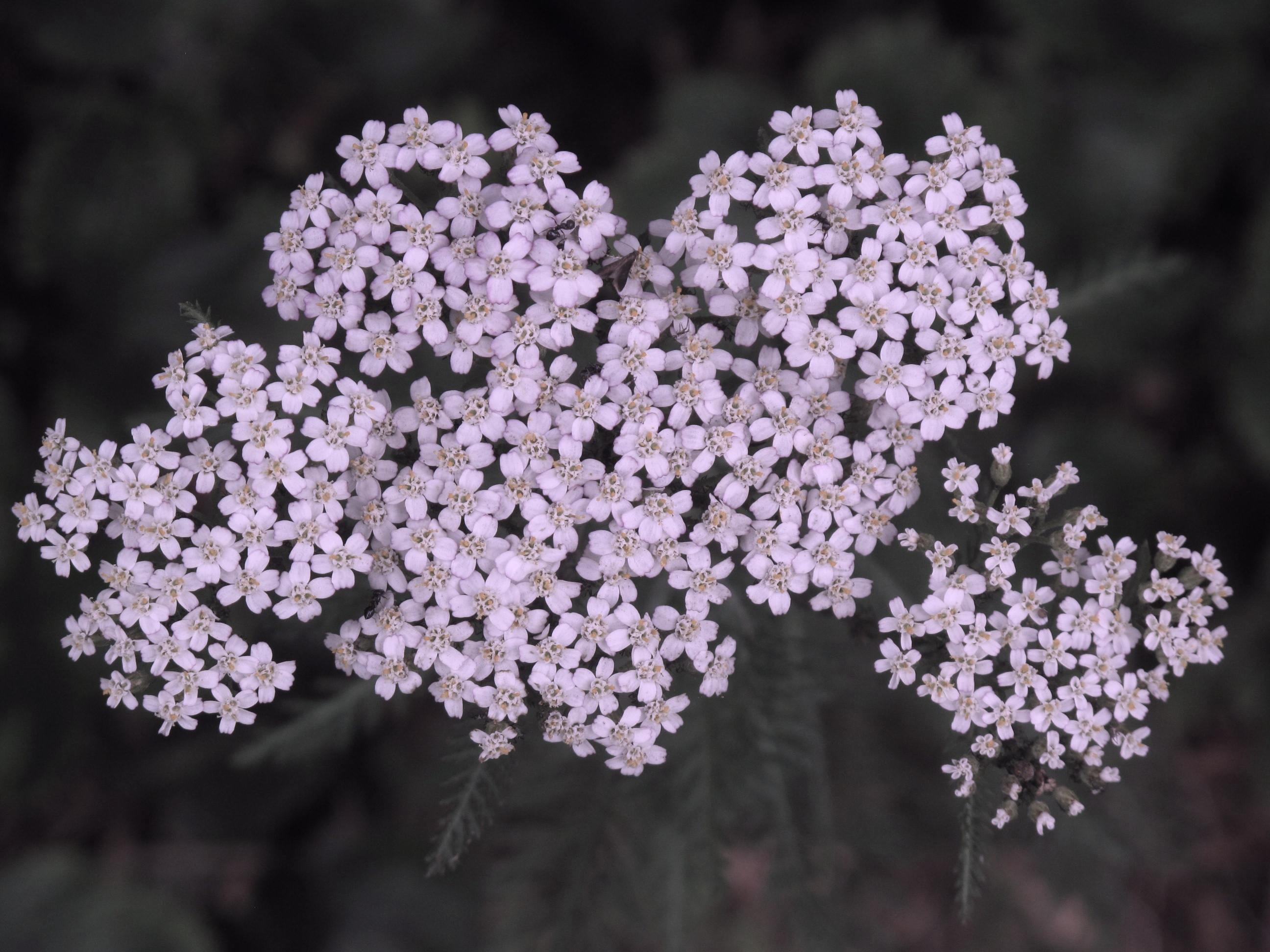Achillea millefolium 33