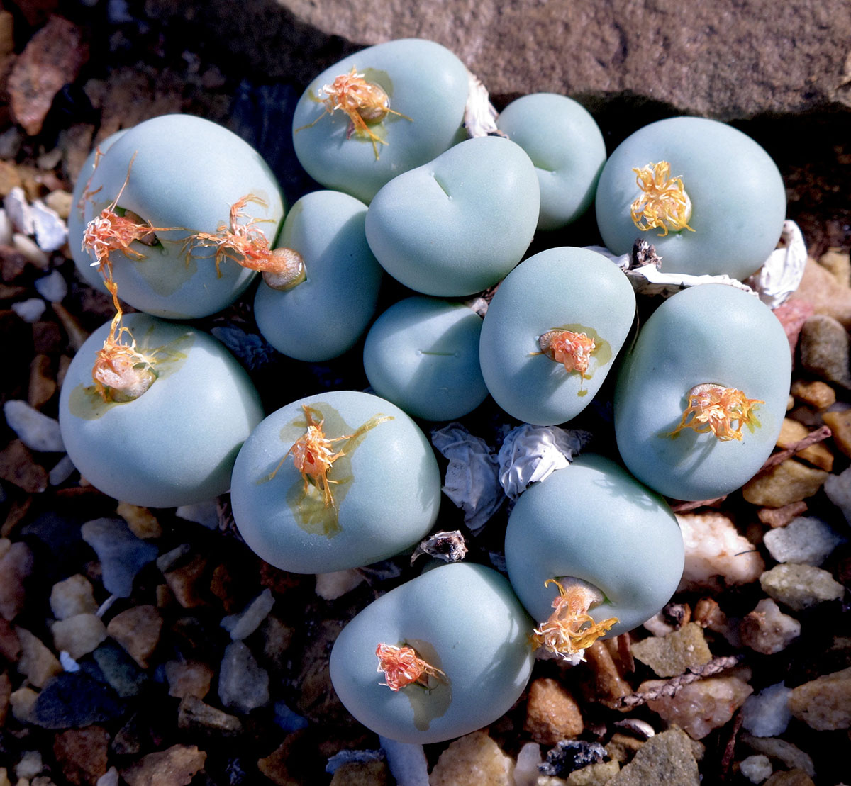 Conophytum pageae 1