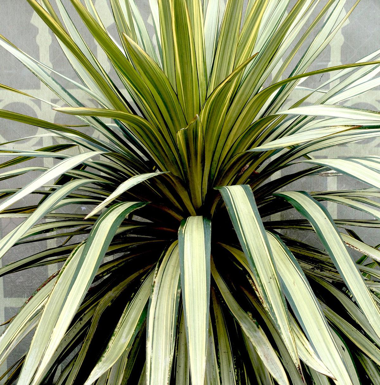 Yucca recurvifolia Hinvargas 1