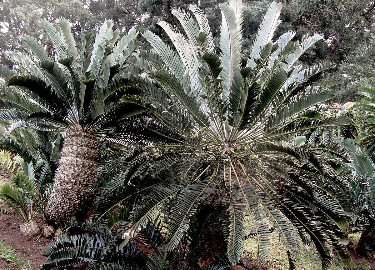 Encephalartos longifolius 7