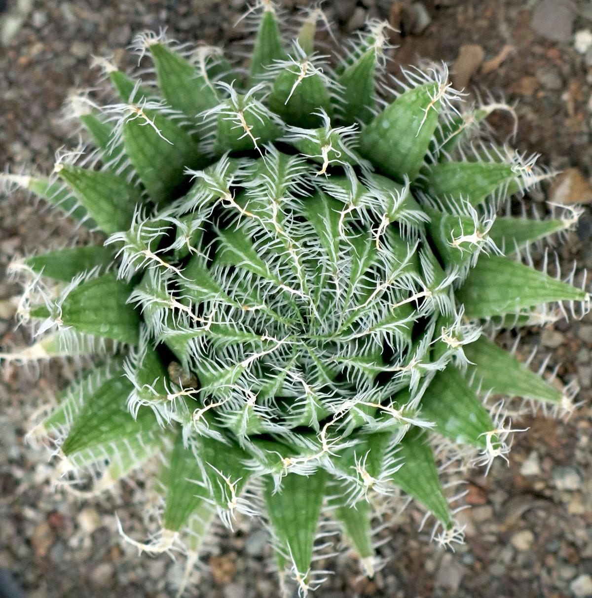 Haworthia arachnoidea settata 4