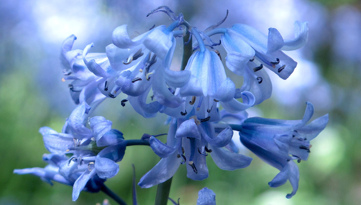 Hyacinthoides hispanica 1