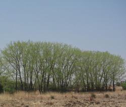 Populus deltoides 16