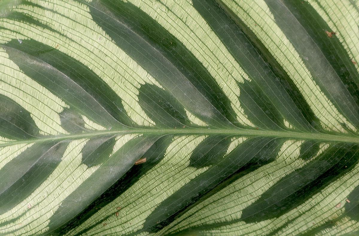 Calathea makoyana 10