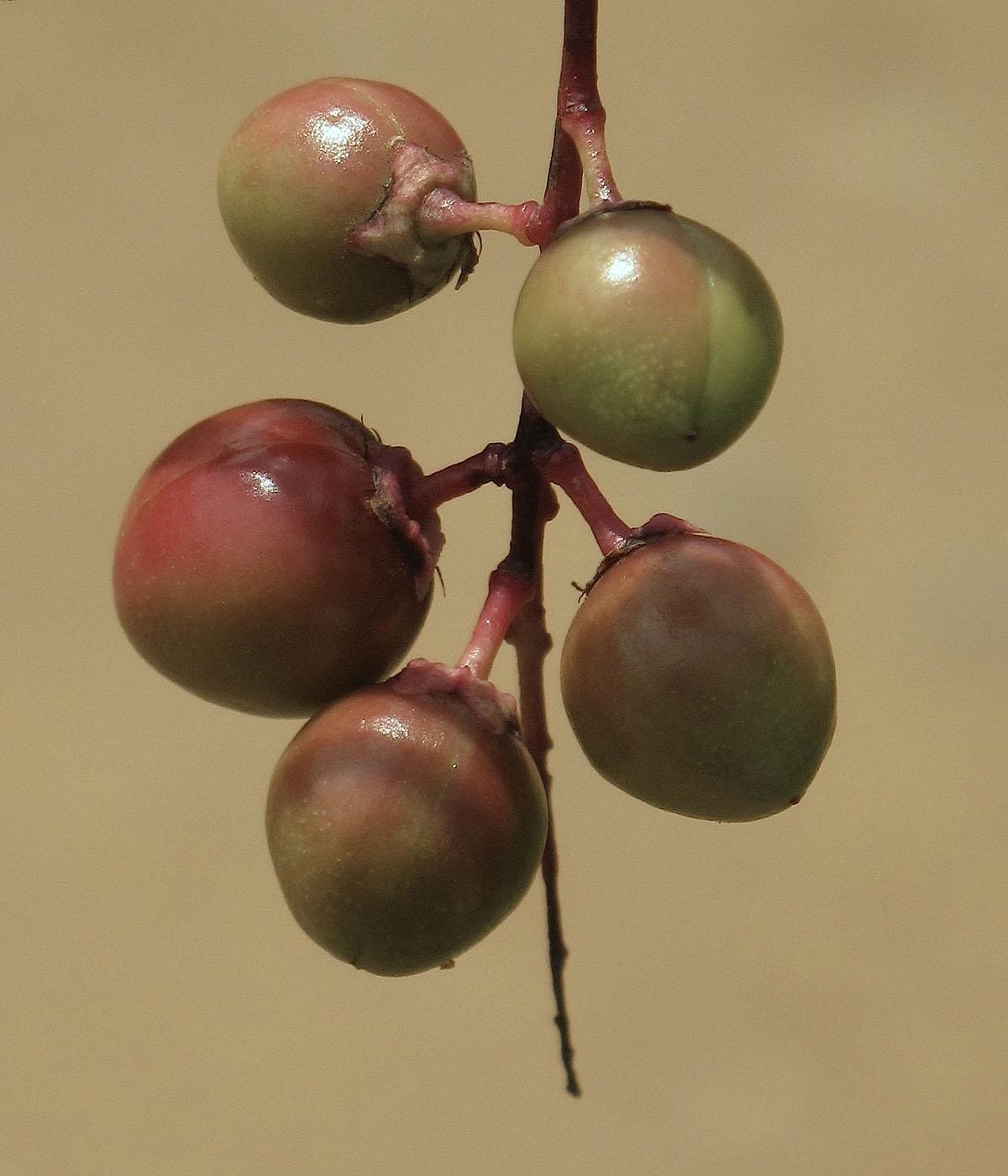 Prunus africana 26