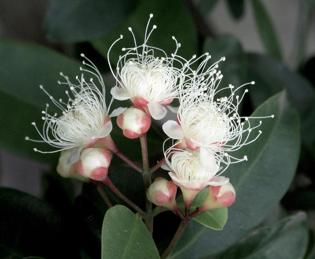 Syzygium paniculatum 18