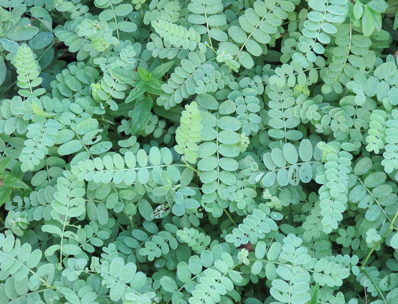 Astragalus-cicer-2-