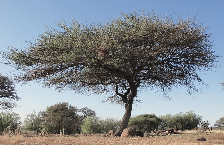 Acacia-tortillis-heteracantha-80-
