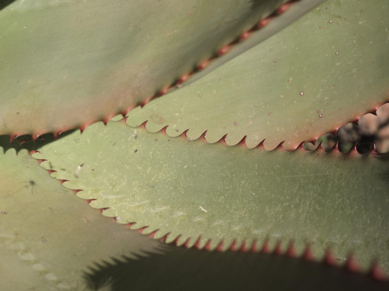 Aloe-ferox-49-