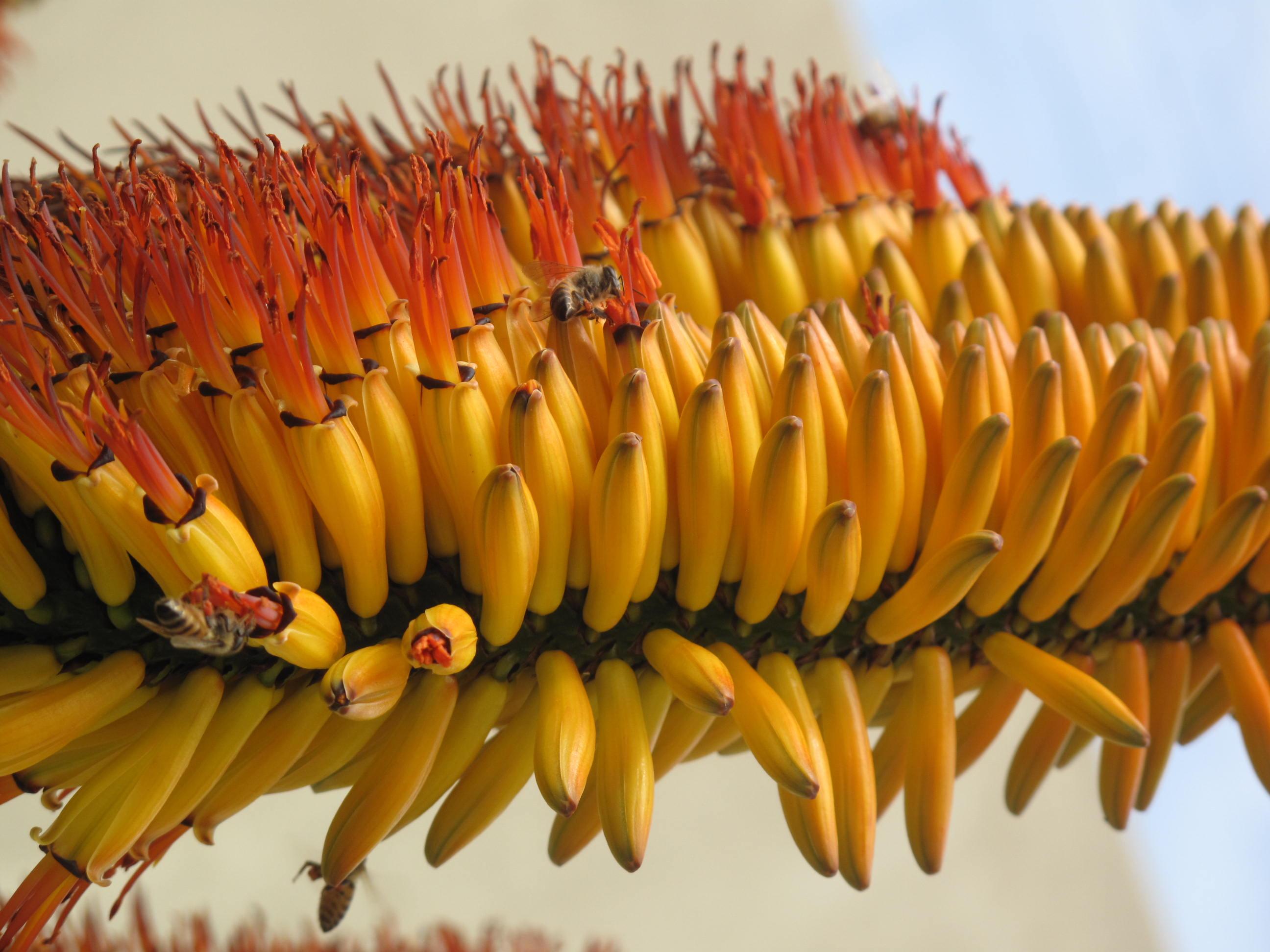 Aloe marlothii 33