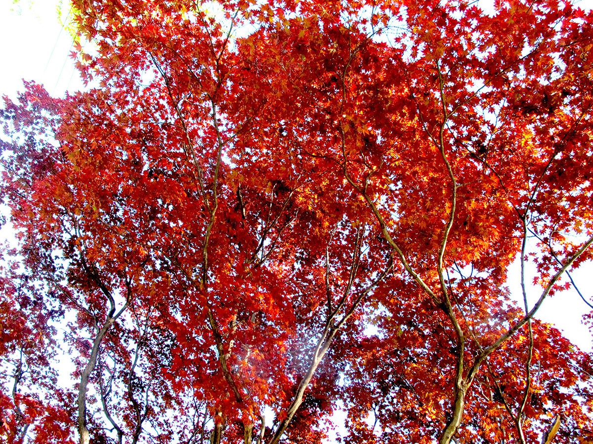Acer-palmatum-Red-19-