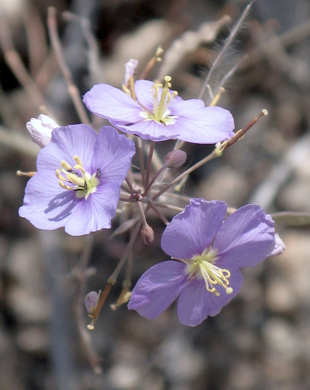 Heliophila trifurca 34