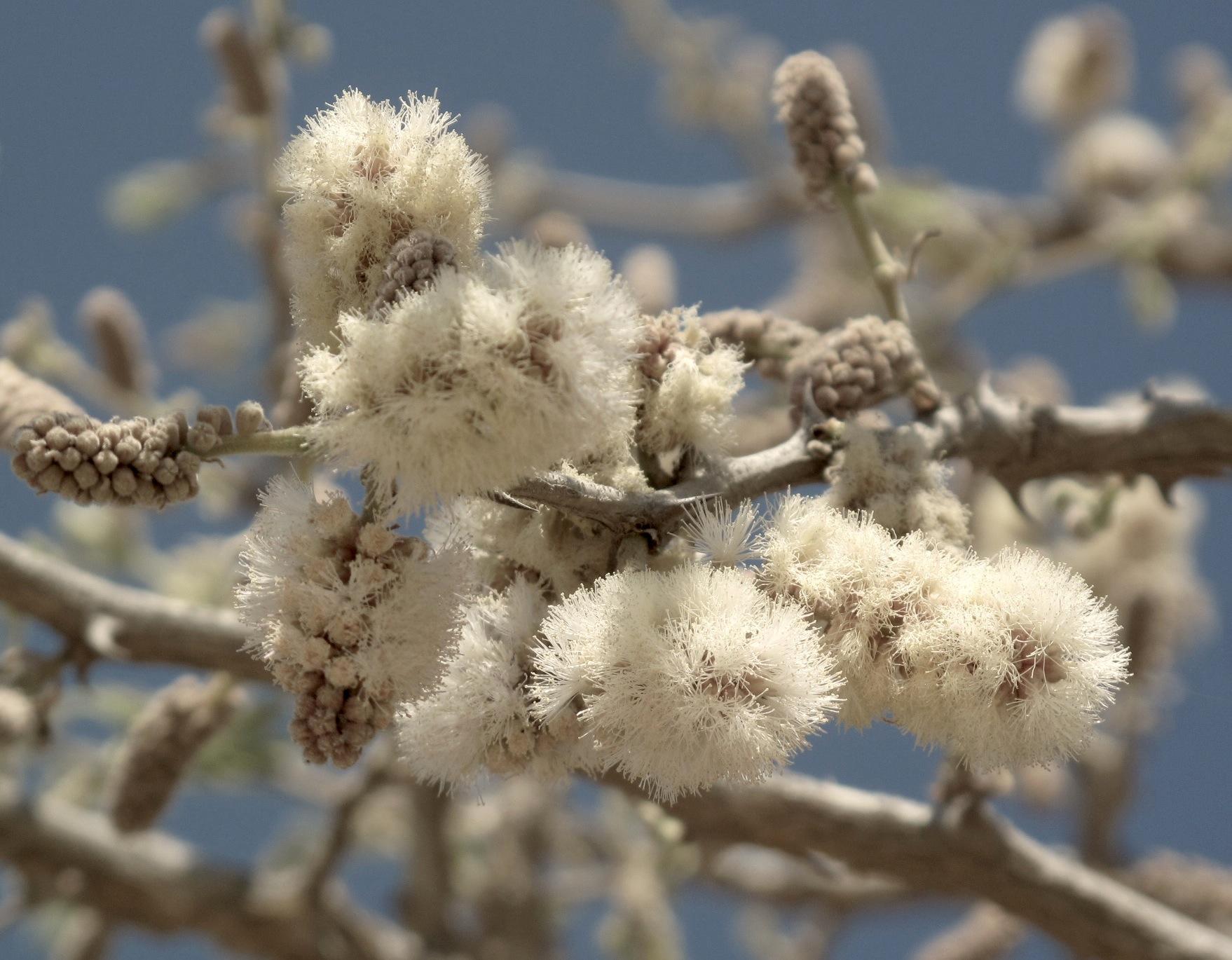 Acacia erubescens 4