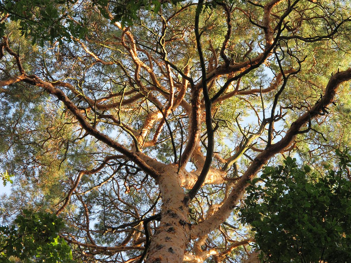 Pinus sylvestris 0
