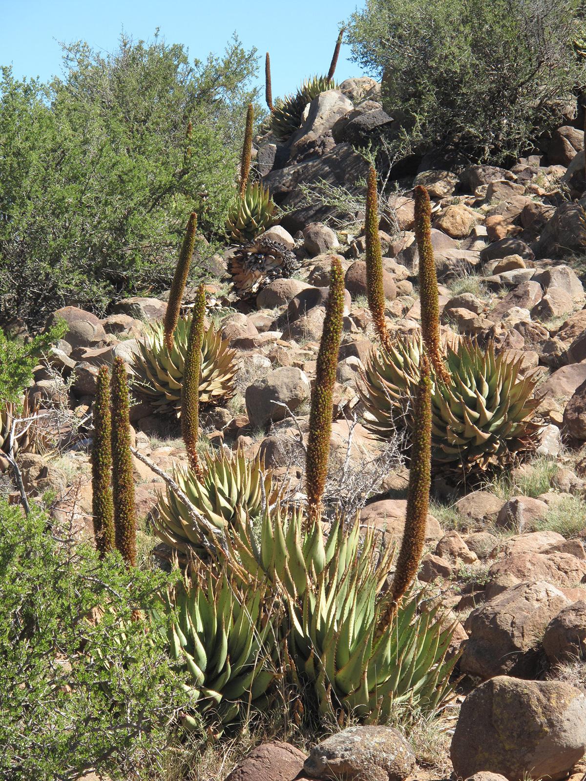Aloe-broomii-tarkaensis-29-