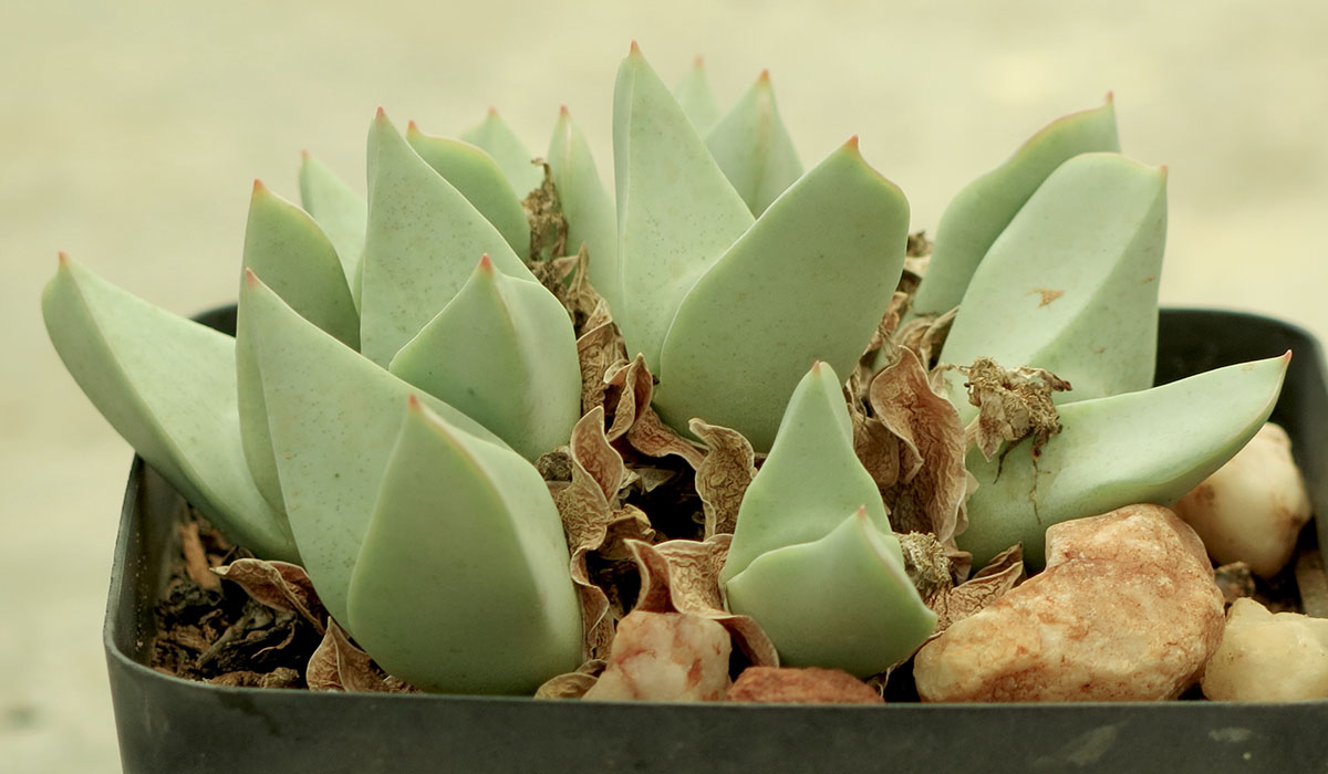 Conophytum herreanthus herreanthus 2