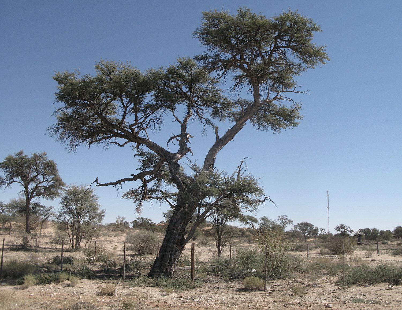 Acacia-erioloba-35-